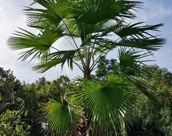 20  Trachycarpus latisectus, Windermere Palm Seeds,