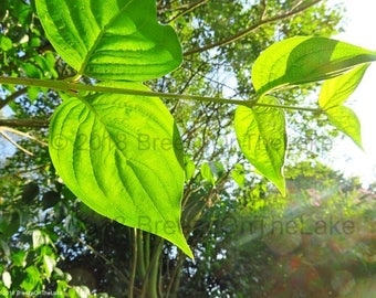 Sunlit leaves photo, trees photography, summer wall art, instant download, wall art printables, green foliage, nature prints, home decor