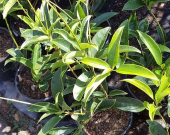 "Sweet Olive Osmanthus fragrans 1 Feet Tall Ship in 4"" Pot"