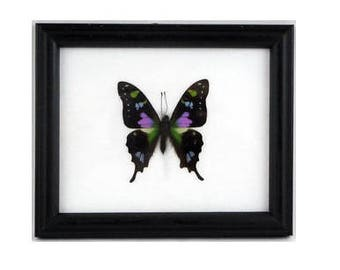 Real framed Graphium Weiskei butterfly A1 quality - Taxidermy - Home Decoration - Collectibles - Gift -