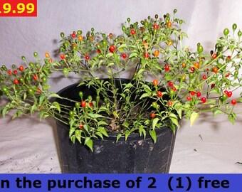 1 plant chili tepin . 1 planta de chile de monte in the purchase of 2 (1) free