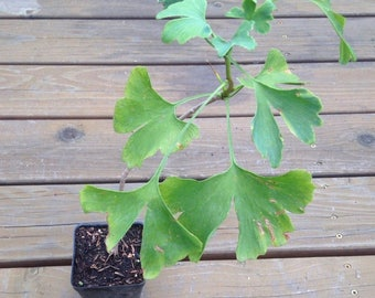 Live GINKGO BILOBA Plant Well Rooted Quality Starter Perennial Herb Free Shipping!