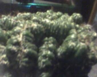 The bizzar Cereus Monstrose