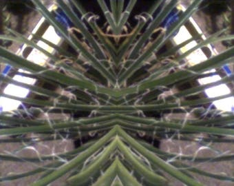 tha rare agave  geminflora in a 10 inch pot