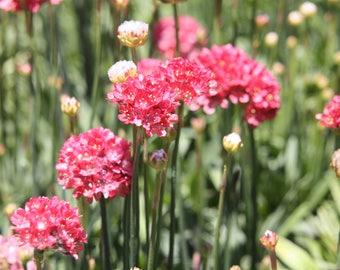 Fine Art Photography, Pink  Flower Photography, Nature Photography, Flower Photography, Digital Prints, Wall Art, Digital photos