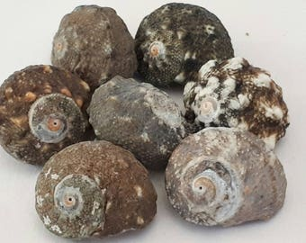 A6 - set of 7 shells 20 mm UN-drilled - ideal for all creation
