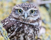 Little Owl Blank Greeting...
