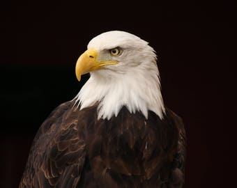 Printable Photo Download, Bald Eagle closeup Photo, High Quality Printable Image, Photography, Fine art photography, Instant Download