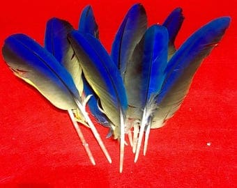 Feathers for rituals without blue feather jib pen blue-bellied Parrot