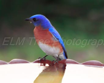 Vivid bright Blue Eastern Bluebird pauses for a drink from a yellow bird bath Photograph
