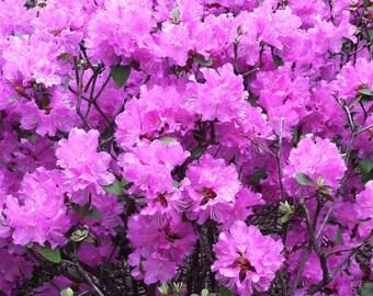 Vibrant pink azaleas