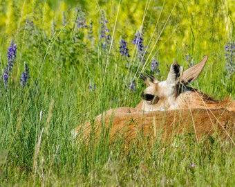 Young Pronghorn Antelope.