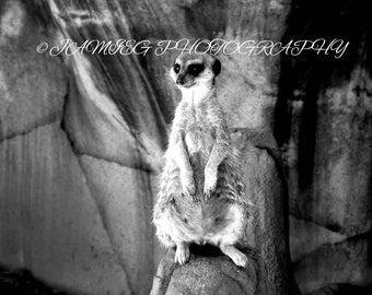 8x10 Meerkat in Black & White