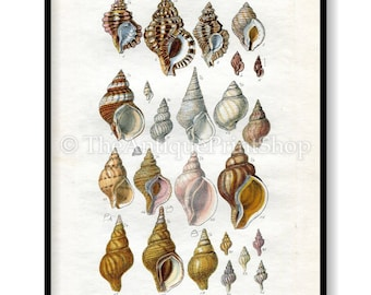 Shell Print Antique Reproduction. Plate XVIII from British Shells by Sowerby pub. 1859. Wall Decor for, Hamptons, Shabby Chic, Beach House
