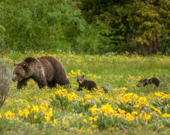 "Grizzly ""Blondie"" with her two cubs in Grand Teton National Park.  2017"