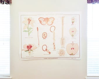 Flowering Apple Blossom and Lily  Classroom Teaching Chart  Botanical Teaching Chart