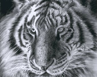 Tiger, Giclee print. Original created in charcoal