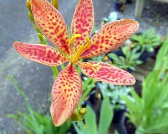 Candy Lily AKA Blackberry Lily - 50 Seeds from my garden