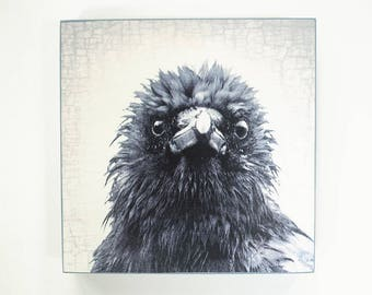 Frazzled Mabel the Crow Portrait - Ready to Hang Wooden Plaques -  Fine Art Image Collection on  5-inch Square, Birch Panel
