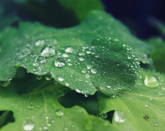 "Nature Photography, Botanical, Leaves, Green, Dew Drops, Macro, 8x10. ""Morning Dew, No.2""."