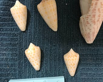 5 Seashells Florida Cone Conus amabathrum Sea Shells Florida Beaches