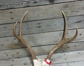 Small Set of Taxidermy Quality Mule Deer Antlers - Lot No. 47086HP