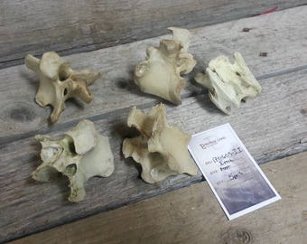 Emu Vertebrae - Real Bones - 5 Assorted Pieces Lot No. 170605-II