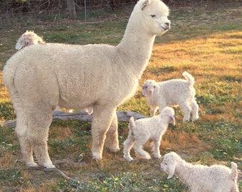 Alpaca Fibre natural  colour