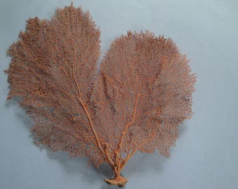 "13"" x 13.2"" Pacifigorgia Red  Sea Fan Seashells Reef Coral"