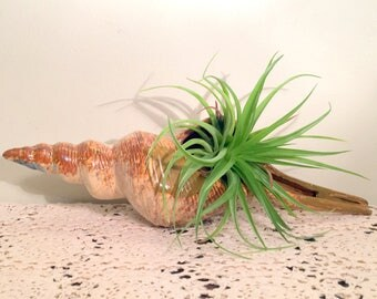 "Ceramic Whelk Shell/Ceramic Seashell/Seashell Beach Decor/Planter Shell/Shell Theme Planter/13"" Long Whelk Figure/Shell Planter"