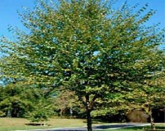 100 Sweet Birch Tree Seeds, Betula lenta