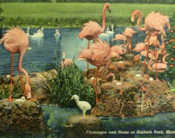Flamingo postcard.  Flamingos and nests in Miami FL.  Vintage linen finish postcard.