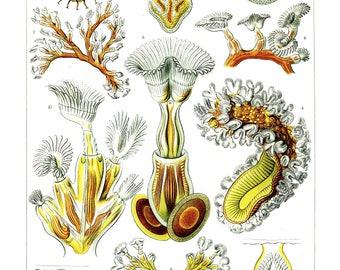 Ernst Haeckel's Vintage Artwork Bryozoa