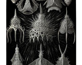Ernst Haeckel's Vintage Artwork Cyrtoidea