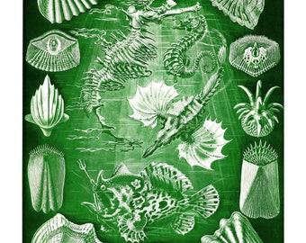 Ernst Haeckel's Vintage Artwork Teleostei