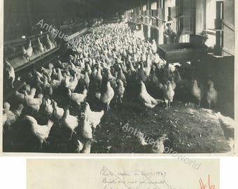 Chicken farm hatchery antique photo