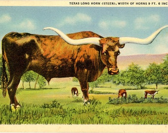 Texas Long Horn Steer Cattle Vintage Postcard (unused)