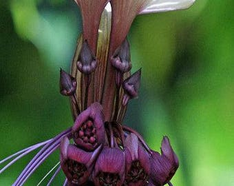 Tacca integrifolia seeds, rare orchids, code 522,orchid collection, gardening, flower seeds