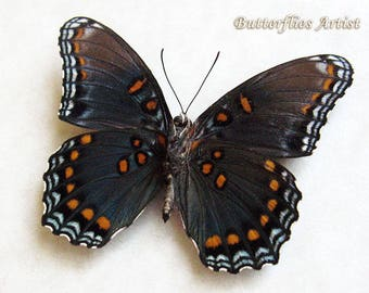 Real Butterfly Red-Spotted White Admiral Limenitis Arthemis Framed In Shadowbox