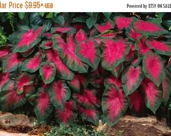 BIG SALE Caladium Fancy leaf Buck (Bulbs) Thrives in Heat and Humidity