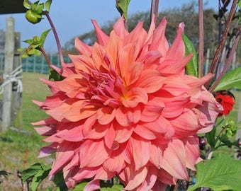 BIG SALE Dinner Plate Dahlia,ace summer sunset,Dinner Plate Dahlia Tubers , Great Cut Flowers,Blooms ,Summer to fall