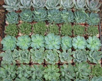 10 mini Rosettes Succulent Collection Plants  in 2 inch Pots