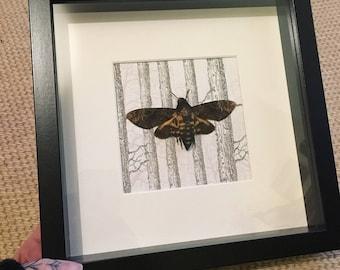 Framed Death's Head Hawk Moth