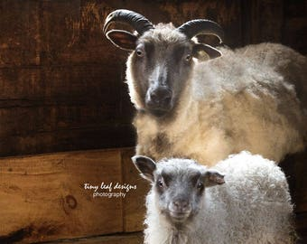 Sheep Original Photography 10 x 10 and 12 x 12 Standout