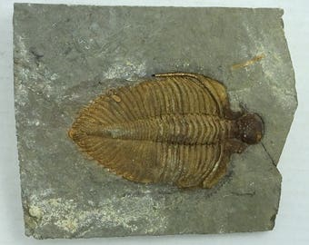 Trilobite Fossil; Coronocephalus sp.; China