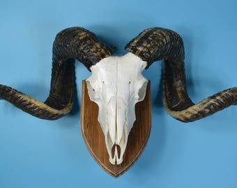 Goat skull,ram/sheep skull hanging wall without the lower-jaw, art work 5-9#  free shipping to worldwide