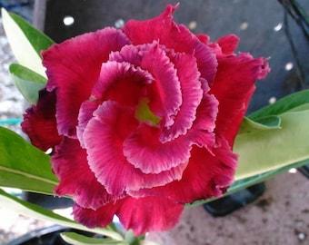 Red Desert Rose (2 yrs old) - Adenium Obesum - Triple Petal - Grafted