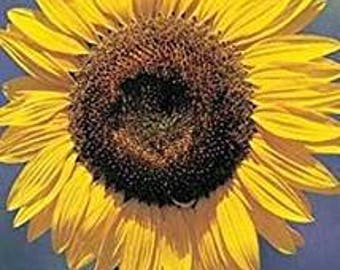 David's Garden Seeds Sunflower Mammoth Grey Stripe