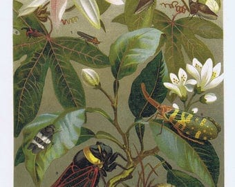 antique print beetle insects