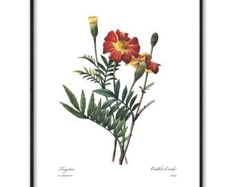 Marigold Digital Download Print (Printable Bedroom Wall Art, Shabby Chic Home Decor, Orange Flower Botanical) Pierre Redoute